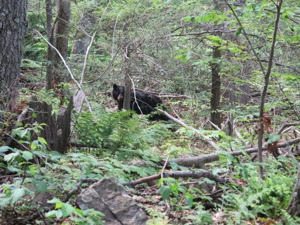 Bear in PA