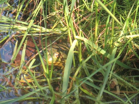 Frog at Mt. Greylock